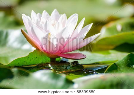 Frog Under Flower Water Lily