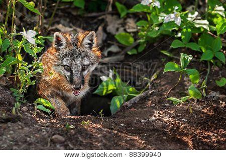 Grey Fox (urocyon Cinereoargenteus) Vixen Climbs Out Of Den
