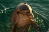 dolphin in the red sea eilat israel poster