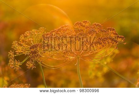Stems And Umbel Inflorescence Of Dill At Sunset