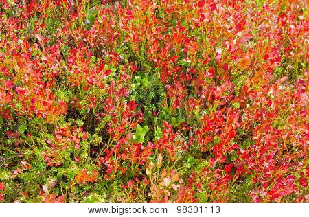 Shrubs Of Bilberries With Red Leaves Closeup