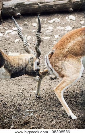Pair Of Blackbuck (antilope Cervicapra)