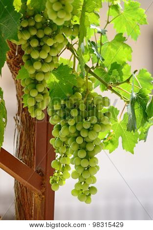 Unripe  Grapes  With The Sunlight Beautifully Shining Through The Vine Leaves