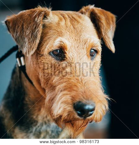 Brown Airedale Terrier Dog Close Up Portrait.