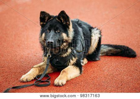 German Shepherd Dog Close Up