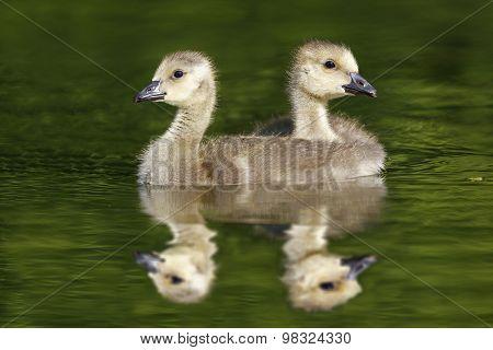 Pair Of Canada Geese Goslings