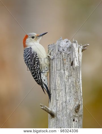Female Red-bellied Woodpecker On A Dead Tree Stump