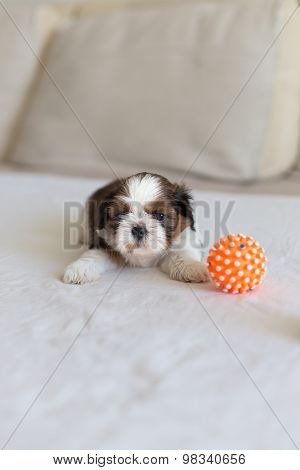 Little White Shih-tzu On The Soffa Frontal View