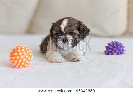 Little Furry Shih-tzu Pupy Are Playing