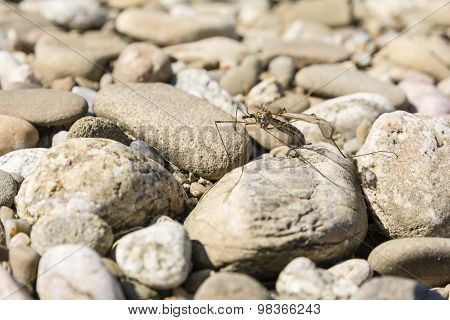 Insect (tipula Sp.) Of The Order Diptera On Stones