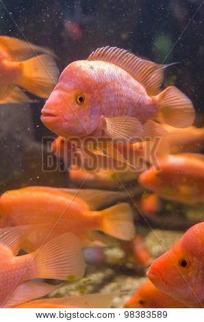 Amphilophus Citrinellus Fishes