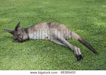 Kangaroo Sleeping On A Grass
