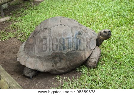 Old Giant Turtle