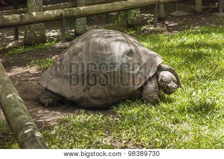 Big Turtle In Its Enclosure