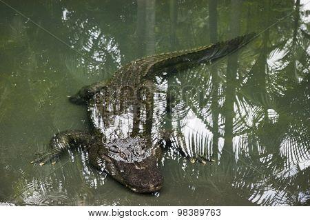 Alligator Swimming Underwater