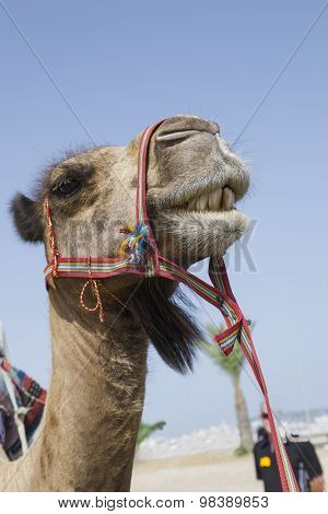Cute Transport Camel With Bridle