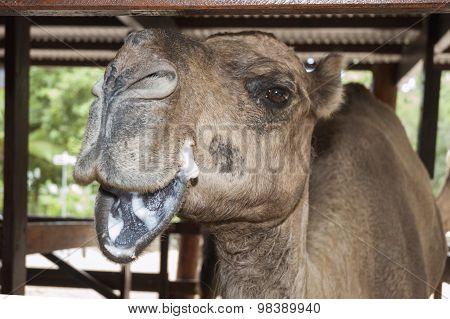 Camel Posing For A Camera