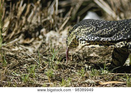 Big Lizard Walking On  Grass