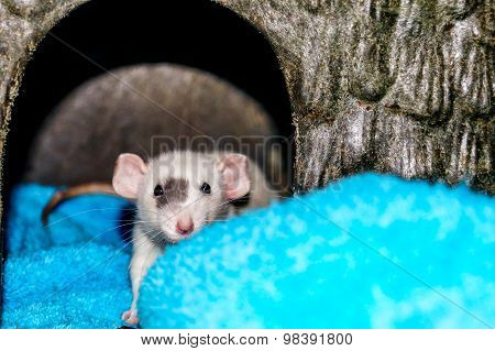 White Rat Looking At Camera