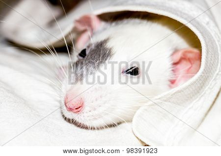 White Rat Under Blanket