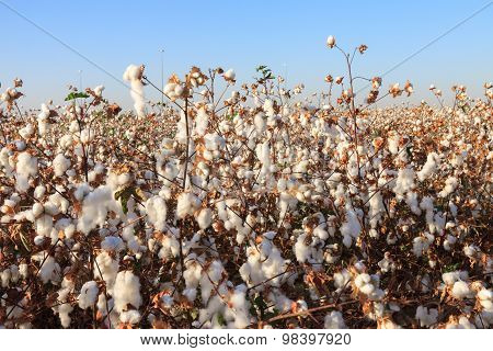 Ripe Cotton On Field