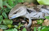 a blue tongued lizard found in australia showing off its blue tongue poster