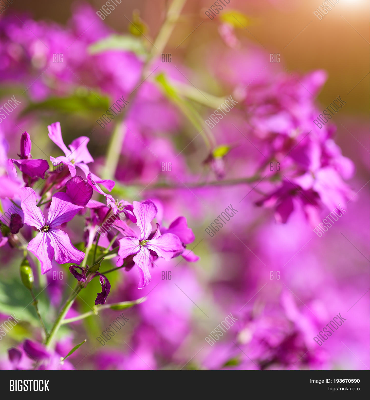 Delicate Pink Flowers Image Photo Free Trial Bigstock