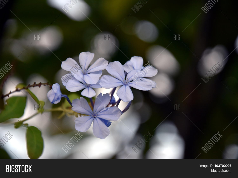 White Blue Flower Image Photo Free Trial Bigstock