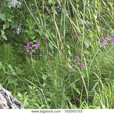 Detail Of Gladiolus Palustris
