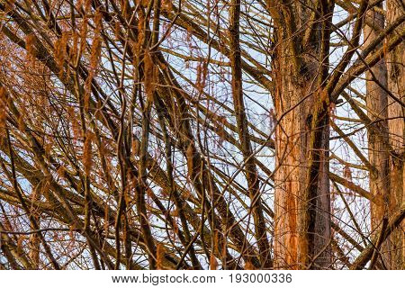 Texture of the bare branches of the autumn hornbeam tree on the background of the sky
