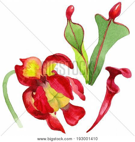 Wildflower Sarracenia flower in a watercolor style isolated. Full name of the plant: Sarracenia Aquarelle wild flower for background, texture, wrapper pattern, frame or border.