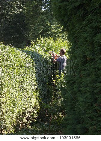 Cutting hedge with electric shears. The hedge is from privet.