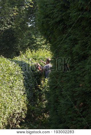 A gardener cutts the hedge with electric shears. The hedge is from privet.