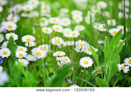 Beautiful marguerite flowers outdoors. Closeup spring flowers