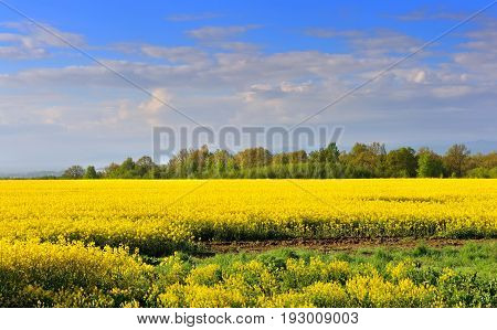 Field Of Rapeseed With Beautiful Clouds - Plant For Green Energy