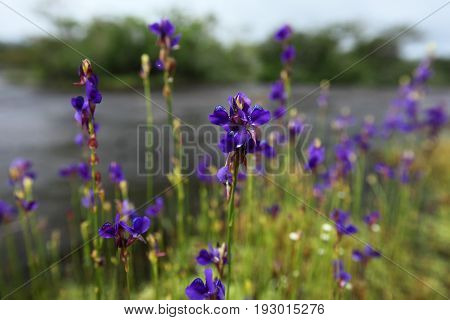 Insectivorous plant (Utricularia delphinioides ) are blooming Nature background Thailand
