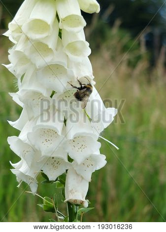 white purple foxglove in an english meadow with bee