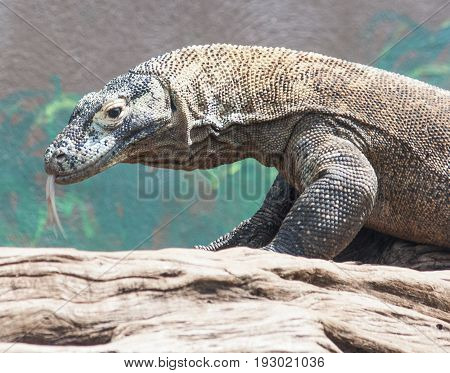 Komodo Dragon Searching For A Dinner Snack