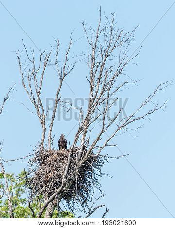 Bald Eagle Chick Perched in a Nest