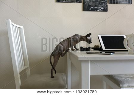 bald cat canadian Sphynx kitten stands on his hind legs on the chair and climbs up on the table where are the gadgets