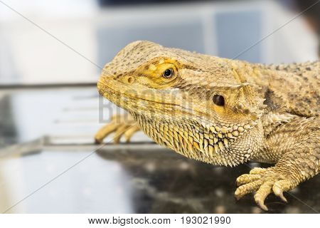 Closeup of Bearded Dragon (Pogona vitticeps) in Thailand
