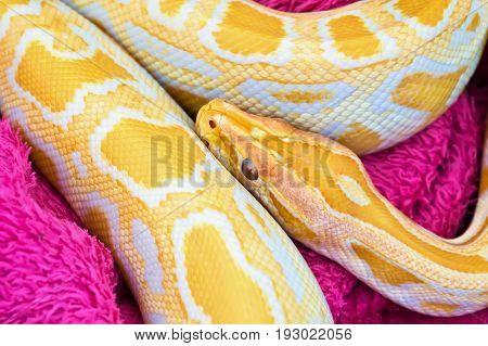 Close up of Golden yellow Python snake