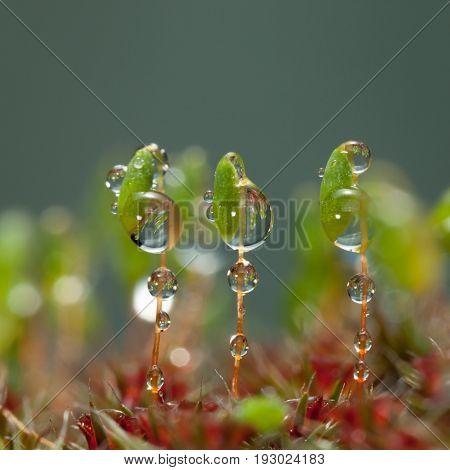 Three Moss Capsules