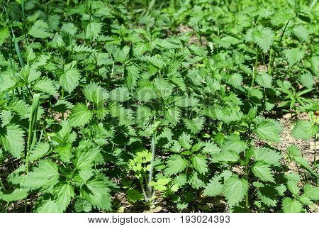A continuous carpet of young green nettles in the woods or in the meadow. There's a lot of stalks of the nettle. Sunny day.
