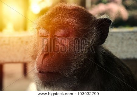 Closeup on monkey's face. Sleeping monkey and sunlight.