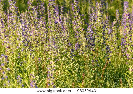 Beautiful floral background of bright blue flowers Echium vulgare on a background of green grass on a meadow in sunlight