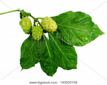 Noni (Also named as Morinda Citrifolia Rubiaceae Noni great morinda indian mulberry beach mulberry cheese fruit Gentianales Noni) fruit with leaf isolated on white