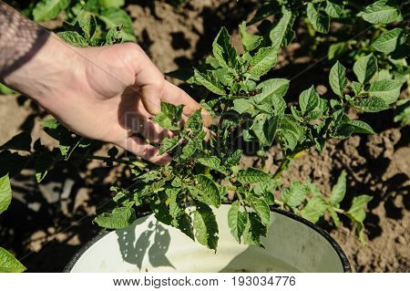 Man's hand is holding a potato plant with larvaes of the Colorado potato beetle.