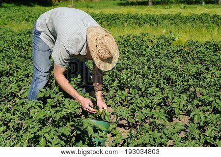 A man is removing larvaes of the Colorado potato beetle from a potato bush. Organic farming.