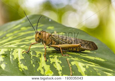 Close up view locust insect over leave at botanical garden of Guayaquil Ecuador
